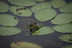 Bullfrog, 2020