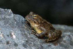 Foothill Yellow Legged Frog, 2020