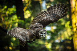 California Spotted Owl, 2019