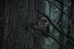 Female Spotted Owl, 2018