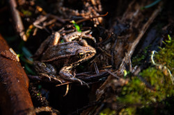 California Red Legged Frog, 2020