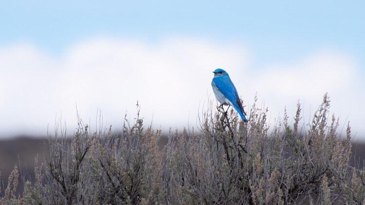 Mountain Bluebird, 2017