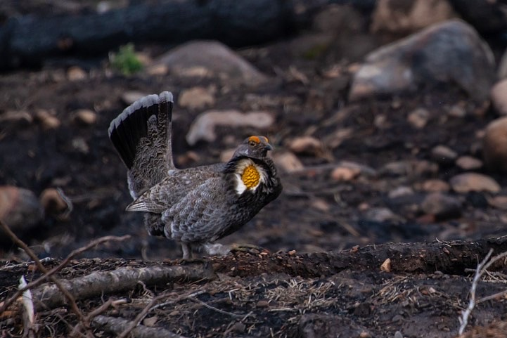 Sooty Grouse Display, 2019