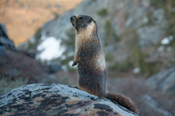 Yellow Bellied Marmot, 2020