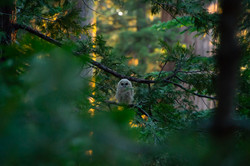 CA Spotted Owl Fledgling, 2019