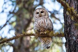 Sparred Owl, 2017