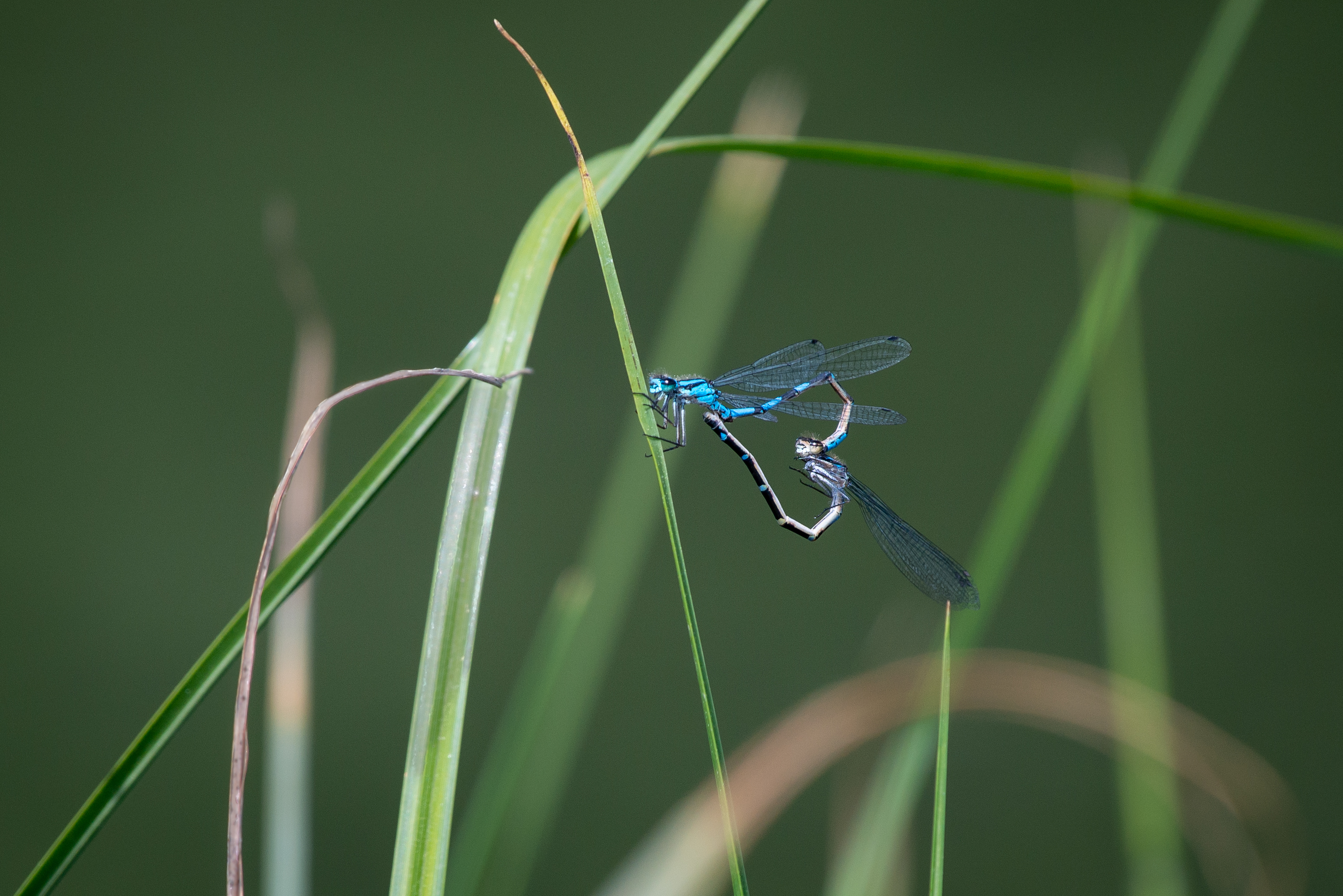 Damselfly Lovers, 2020