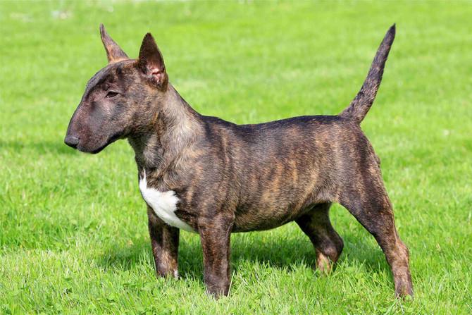 Guia de Raças - Bull Terrier