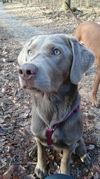 Post von Cleo | Silver Labrador von den Silberweiden