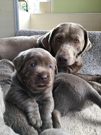Weltentdecker | Silver Labrador von den Silberweiden