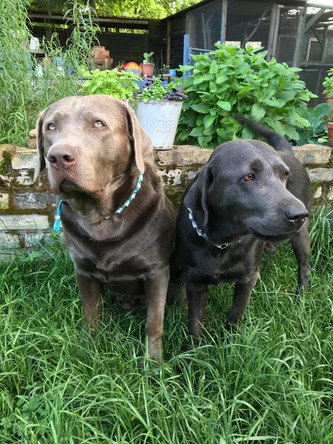 Wurfplanung | Silver Labrador von den Silberweiden