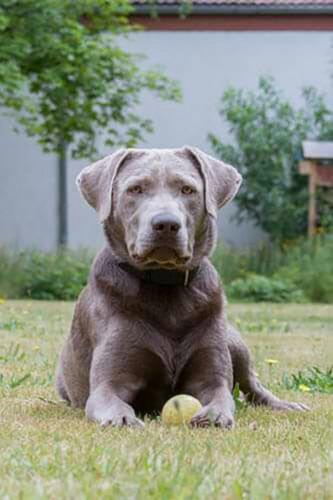 Post von Amadeus | Silver Labrador von den Silberweiden