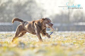 Schneeshooting | Silver Labrador von den Silberweiden