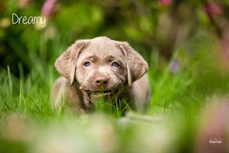 3. Fotoshooting mit baamar | Silver Labrador von den Silberweiden