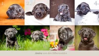 Amira sucht ... | Silver Labrador von den Silberweiden
