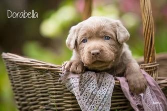 2. Fotoshooting mit baamar | Silver Labrador von den Silberweiden