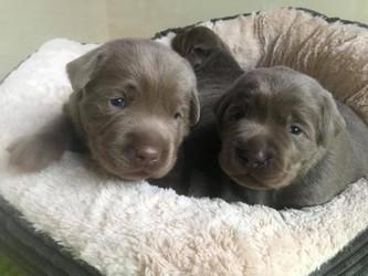 Welpentagebuch Tag 17 | Silver Labrador von den Silberweiden