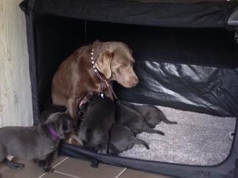 Welpenprägung   Silver Labrador von den Silberweiden