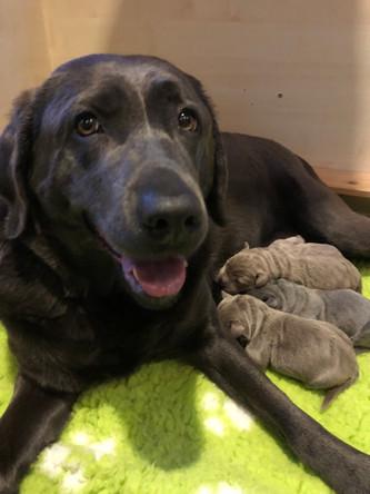 Geburt unserer F-chen | Silver Labrador von den Silberweiden