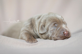1. Fotoshooting Sandra Schürmans | Silver Labrador von den Silberweiden