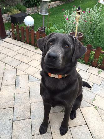 Post von Amira | Silver Labrador von den Silberweiden