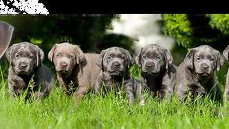 Unser A Wurf ... | Silver Labrador von den Silberweiden
