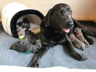 Tag 2 | Silver Labrador von den Silberweiden