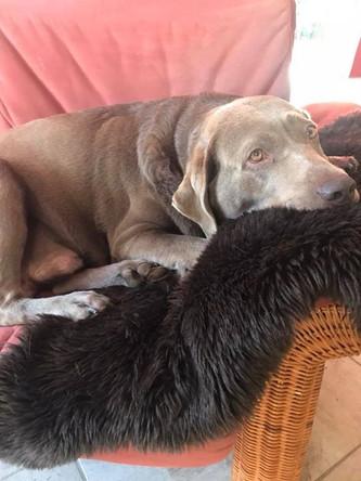 Das große Warten | Silver Labrador von den Silberweiden