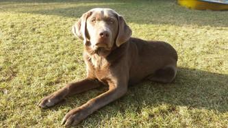 Post von Charly | Silver Labrador von den Silberweiden