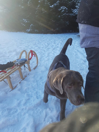 Post von Calissa | Silver Labrador von den Silberweiden