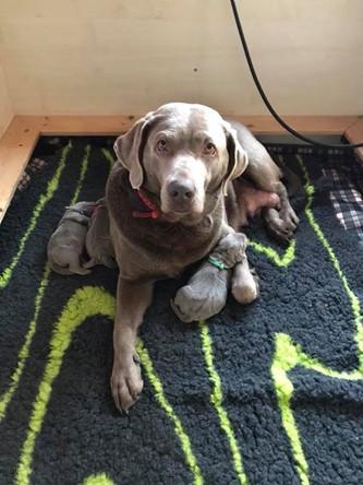 Geburt unserer E-chen | Silver Labrador von den Silberweiden