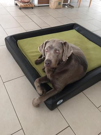 Post von Batu | Silver Labrador von den Silberweiden