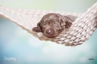 1. Fotoshooting mit baamar | Silver Labrador von den Silberweiden