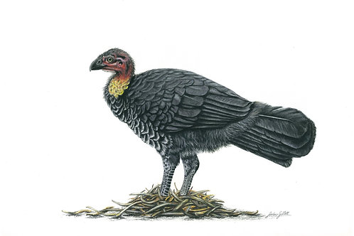 Brush-turkey Print