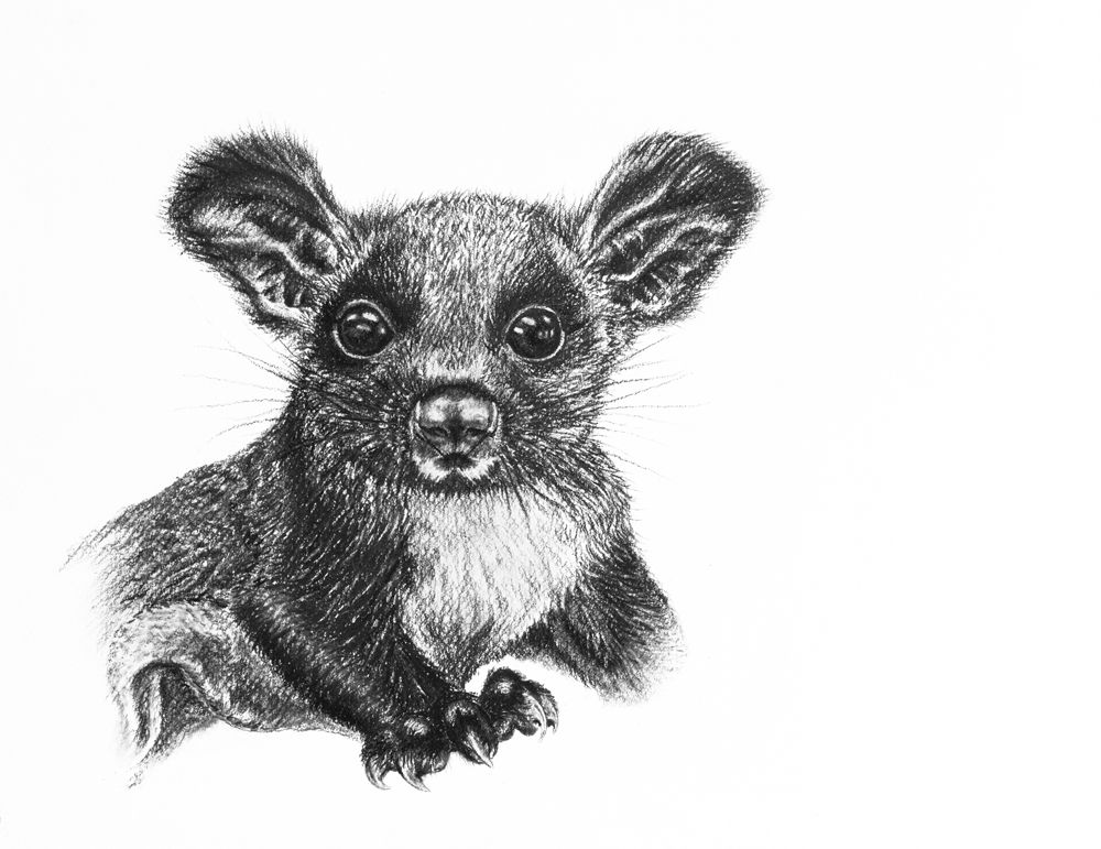 'Juvenile Greater Glider'