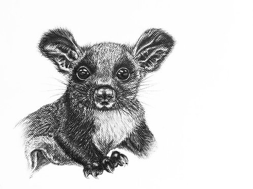 Greater glider Print