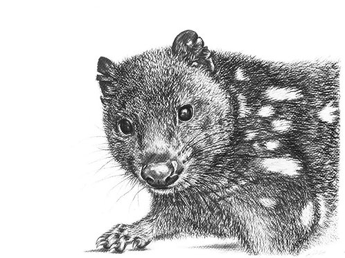 Spotted-tailed Quoll Print