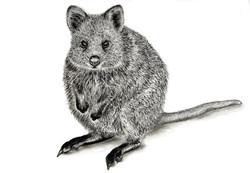 'Australian Quokka'