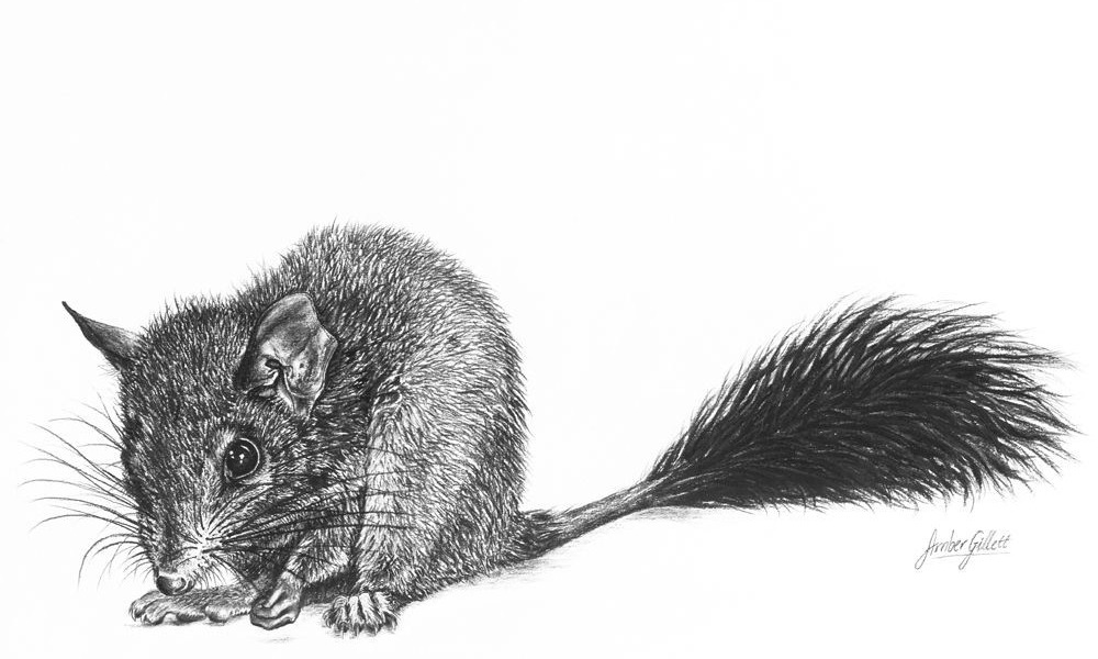 'Brush-tailed Phascogale'
