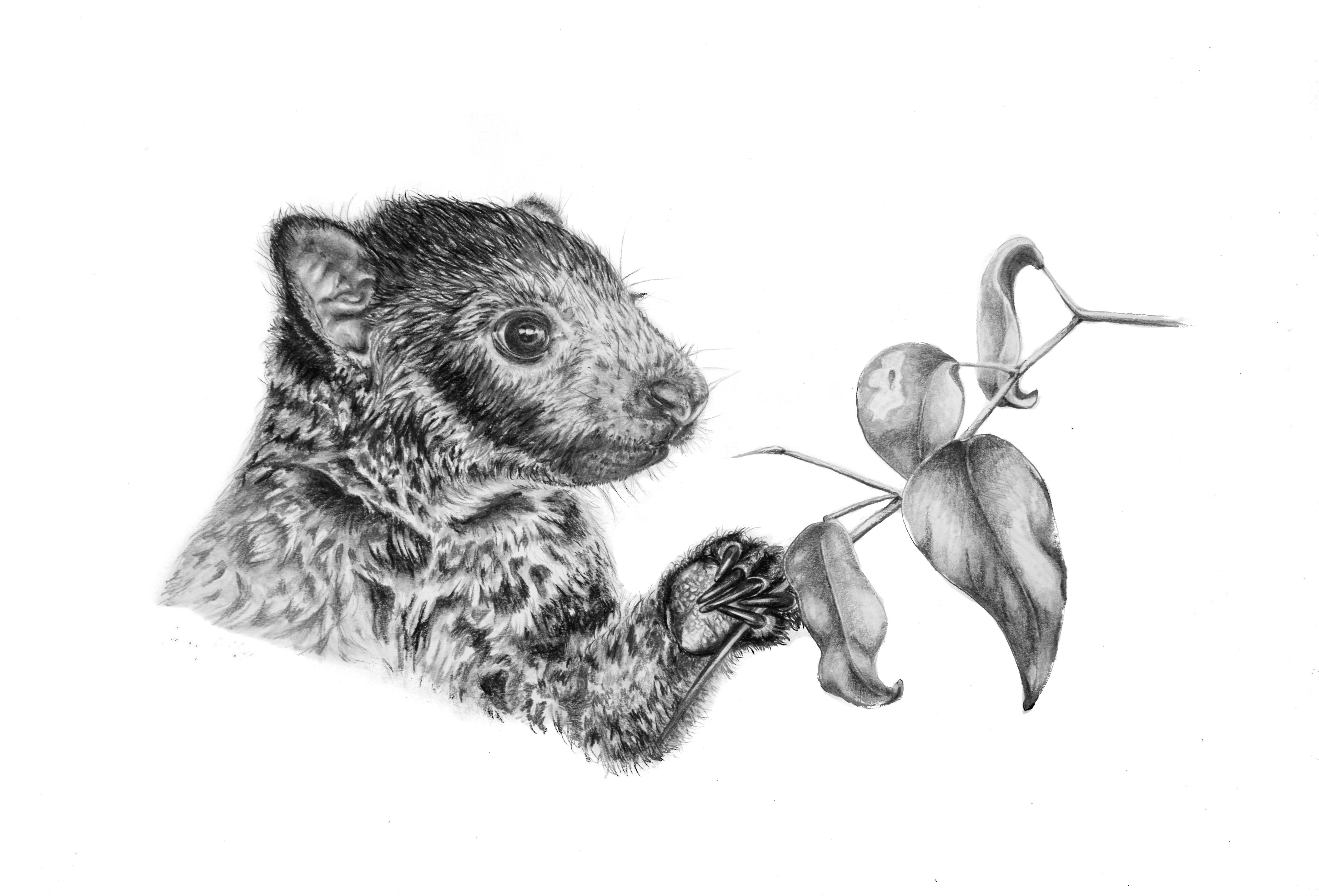 'Mabi' Tree Kangaroo