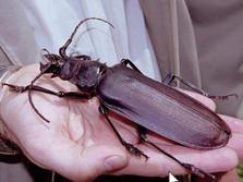 Palo Verde Beetle (huge & scary, but harmless)