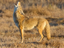 Coyote (our native mascot)