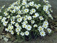 Wild White Daisy