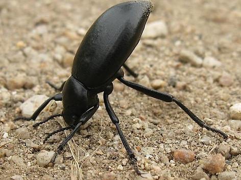 Darkling Beetle (harmless)