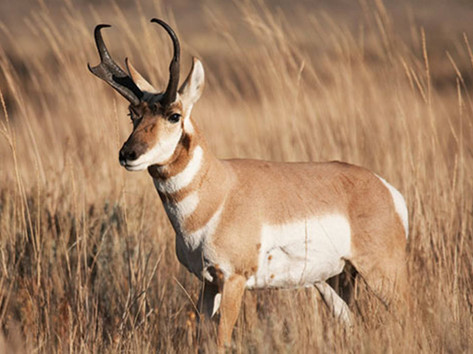 Sonoran Pronghorn (near extinct & protected)