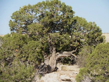 Utah Juniper (our most prevalent tree)