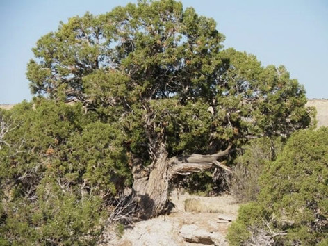 Utah Juniper (our most prevalent tree)