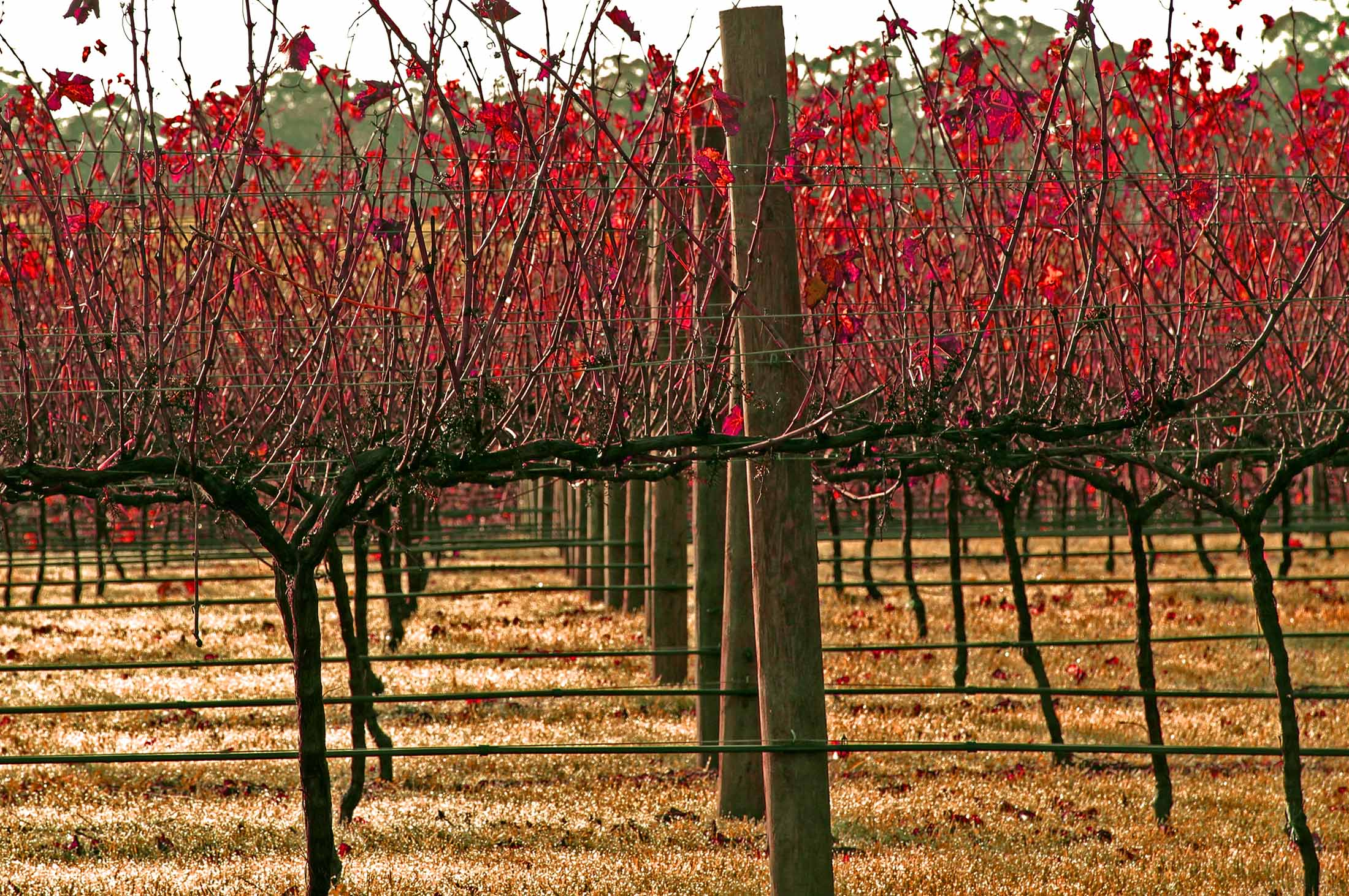web Autumn vineyard_2 copy