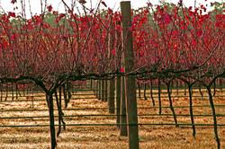 web Autumn vineyard_2 copy