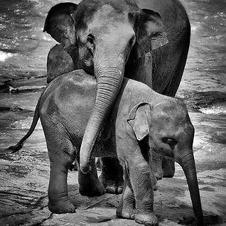 elefante_mamá_proptegiendoa_su_elefant